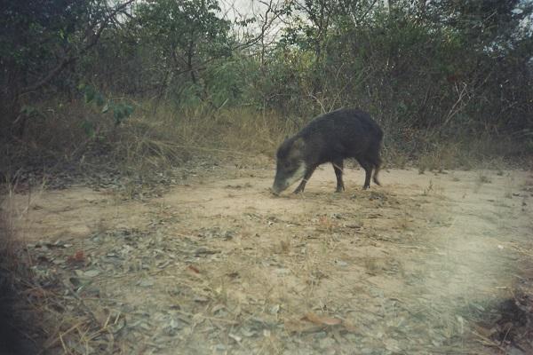 Pesquisa revela importância de áreas regeneradas de cerrado para mamíferos