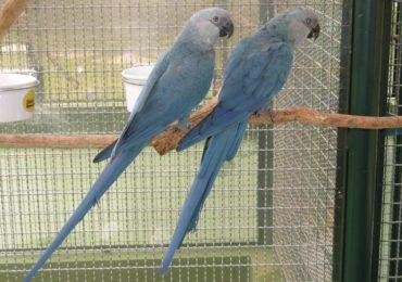 Com possível extinção na natureza, ajuda para preservação da ararinha-azul vem do exterior