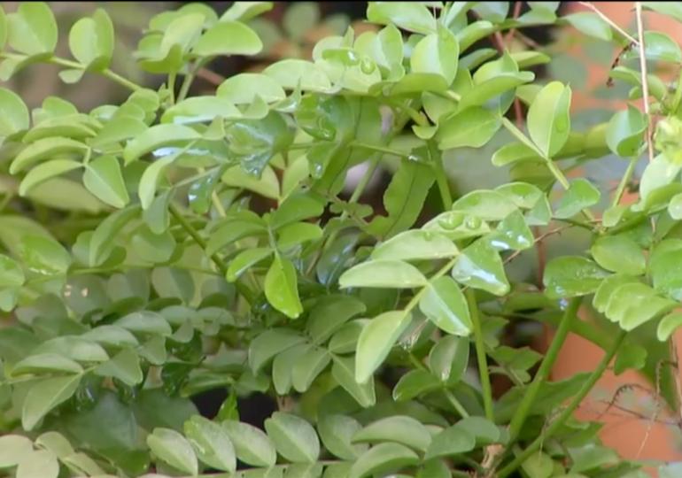 Pesquisadores lutam para preservar o jaborandi, e coleta de folhas é autorizada no sudeste do Pará
