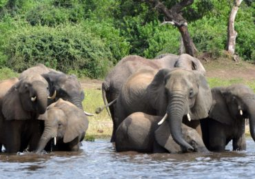 Caçadores mataram ao menos 90 elefantes em Botsuana, diz ONG