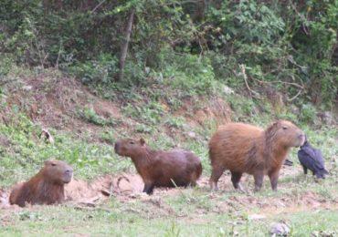 Capivaras que vivem na orla da Lagoa da Pampulha foram esterilizadas e microchipadas, anuncia PBH