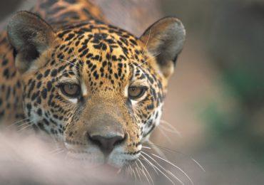COP-14: Brasil inspira criação do Dia Internacional da Onça