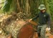 Desmatamento da floresta amazônica aumenta; castanheiras são alvos no Acre
