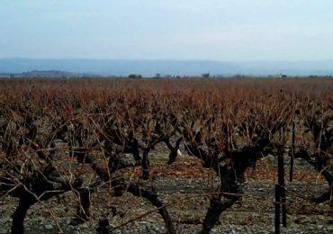 Agrotóxico usado na soja está destruindo a produção de vinho no Rio Grande do Sul