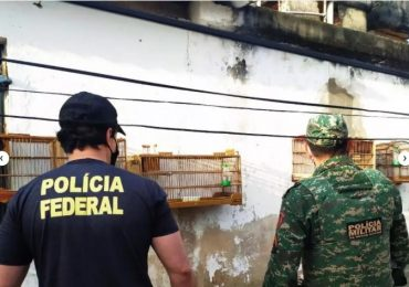 PF cumpre 12 mandados para combater comércio ilegal de pássaros silvestres em MG